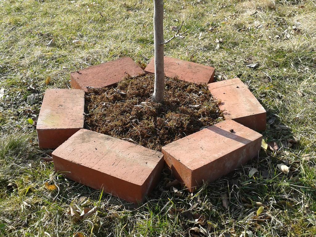 Kaki-Baum mit Moosmulch