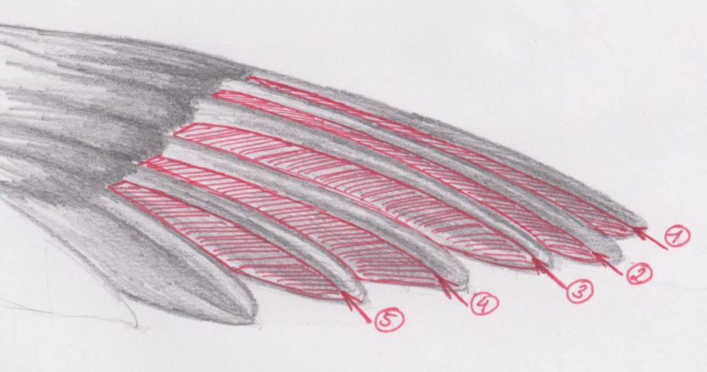 Enten-Schwingen kürzen