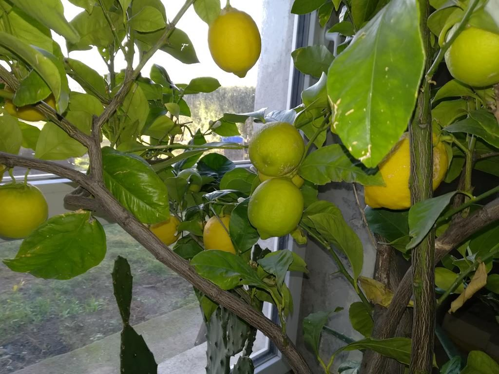 Anstehende Zitronenernte