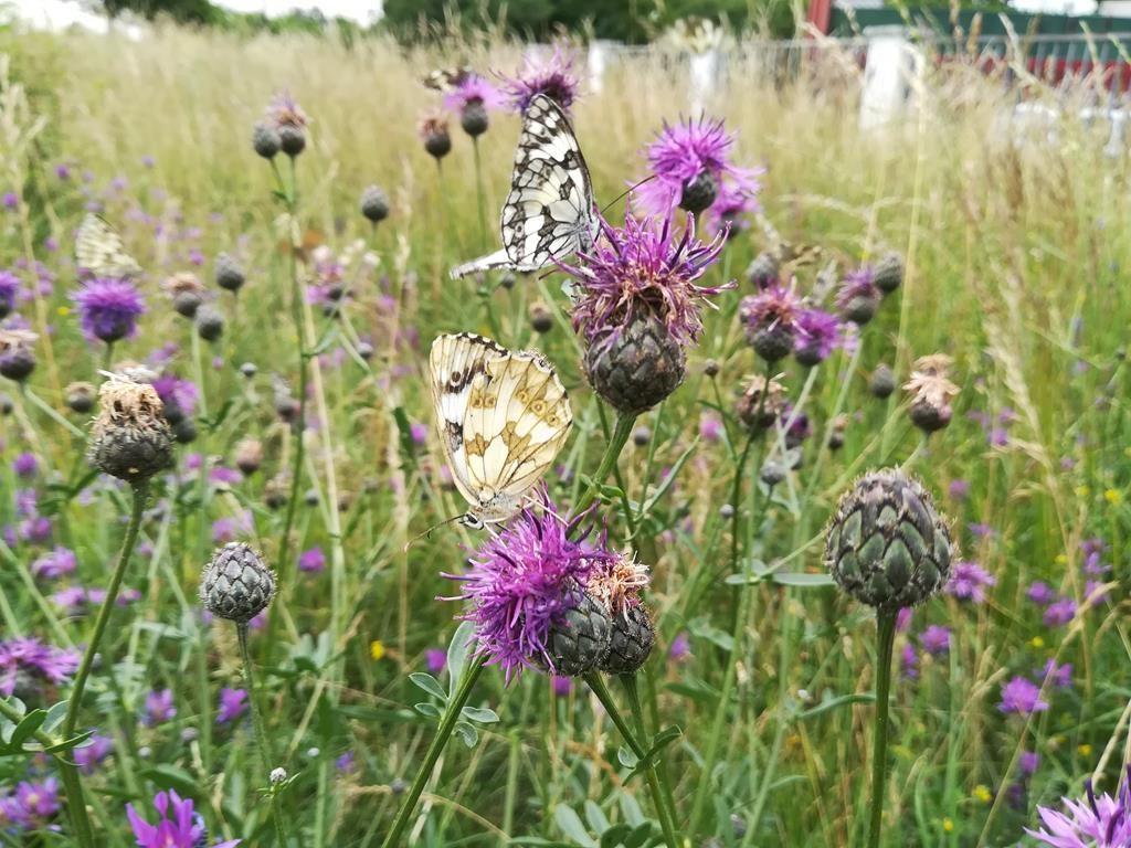 Schachbrett-Schmetterling auf Flockenblume