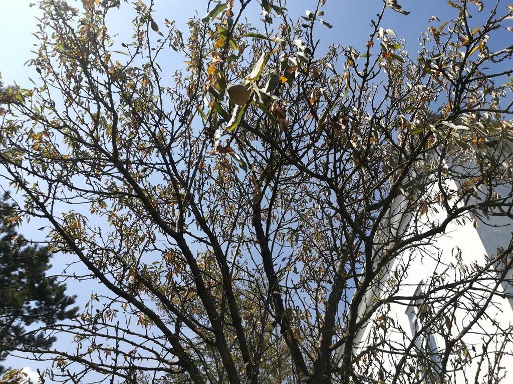 Hitzegeschädigter kleiner Mandelbaum