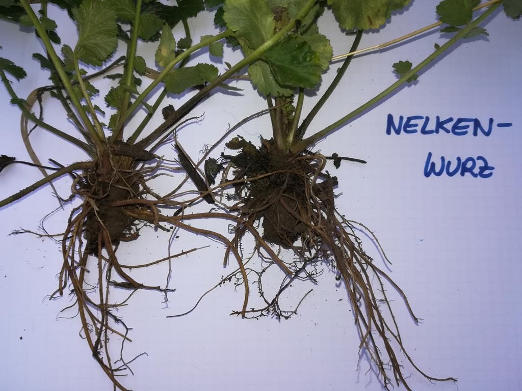 Nelkenwurz-Wurzel